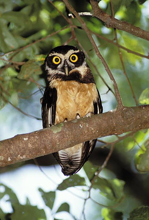 Merlin_Owl.jpg