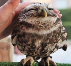 Roe_Owl.jpg