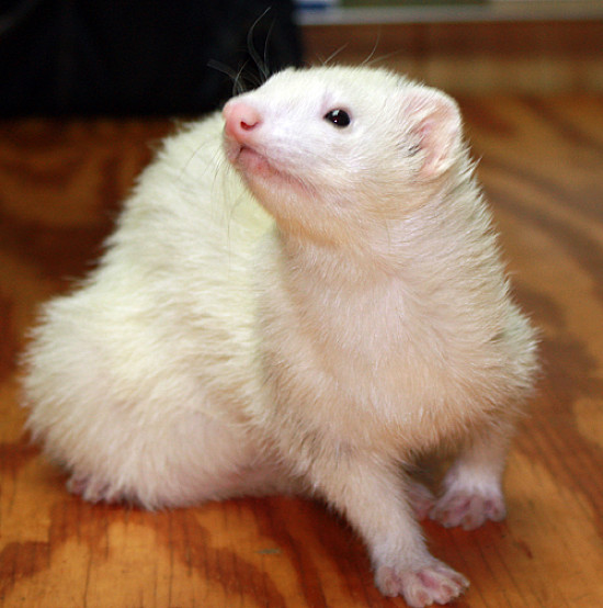 adelaideferret.jpg