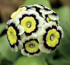 Sirius_Flower.jpg